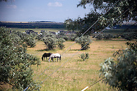 A couple of horses stand in a field surround by Russian Olive trees in the outskirts of Great Falls, Montana, USA.