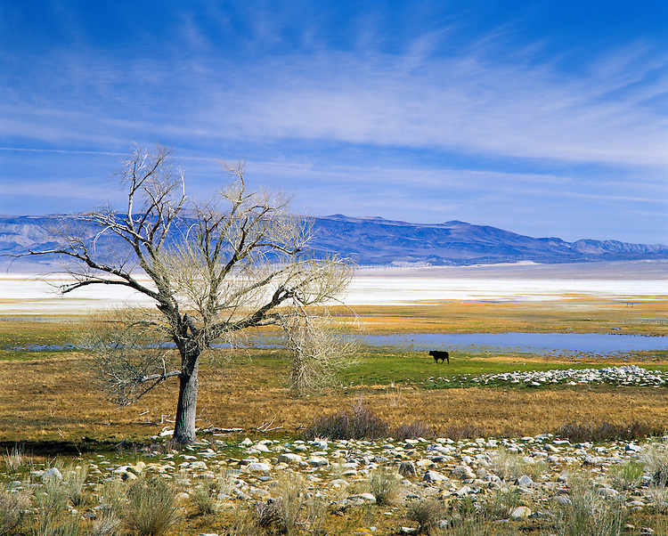 A lone cow stands guard at a watering hole among pasture in what was once Owens Lake in the Owens Valley. Lake inflows diverted to Los Angeles via aqueduct in early 1900's largely responsible for lake going largely dry. Lake is currently a large salt flat whose surface is made of a mixture of clay, sand, and a variety of minerals including halite, mirabilite, thenardite, and trona. As part of an air quality mitigation settlement, LADWP is currently shallow flooding 27 square miles (69.9 km2) of the salt pan to help minimize alkali dust storms and further adverse health effects. Inyo County, CA.