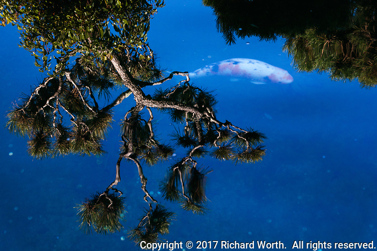 In a Japanese garden koi pond, the reflection of a tree floats on the surface while a koi fish swims below.