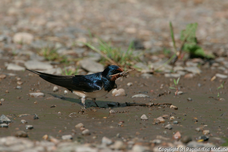 Barn Swallow collecting nest material, Hirundo rustica, By River Tay, Perth, mud. 26/05/2005.