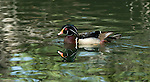 Wood Duck.Aix sponsa at Franklin Canyon Park Beverly Hills, Ca. April 17, 2009. Fitzroy Barrett