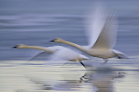 Pair of Tundra Swans taking flight - pan blur