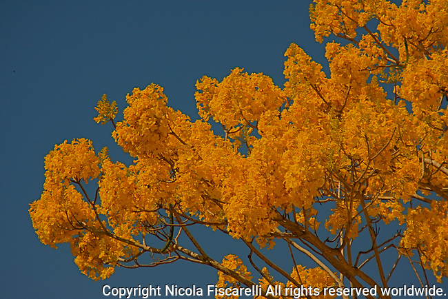 A view of yellow clustered flowering Primavera tree.