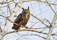 A Great Horned Owl gives an imposing gaze with his deep yellow eyes.