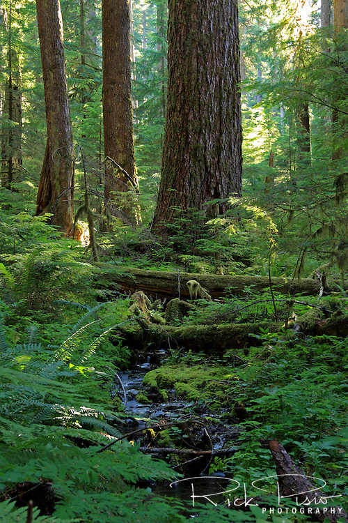 Sunlight filters through the rainforest near Sol Duc Hot Springs in Olympic National Park. Olympic National park is in northwest Washington State. Sol Duc Hot Springs lies west of Port Angeles, Washington.