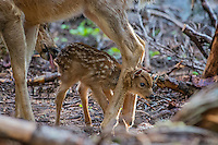 Columbian black-tailed deer (Odocoileus hemionus columbianus) doe washing/cleaning young fawn with her tongue. Pacific Northwest.  Summer.