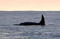 ransient orca or killer whale, Orcinus orca, male dorsal fin, Kona Coast, Big Island; killer whale sightings in Hawaiian waters are extremely rare.