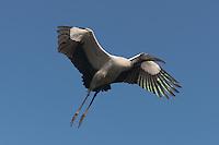 Wood Stork (Mycteria americana) flying