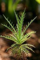Gezähnte Wanzenpflanze, Taupflanze, Fliegenbusch, Roridula dentata, Bug Plant, Flycatcher Bush, Bug Plants, Wanzenpflanzen, Taupflanzen, Wanzenpflanzengewächse, Roridulaceae. Die in Südafrika heimischen Halbsträucher fangen mit ihren klebrigen Blättern Insekten, die von auf der Pflanze lebenden Wanzen und Spinnen gefressen werden. Deren Ausscheidungen wiederum werden von den Blättern der Pflanze als Dünger absorbiert. Fleischfressende Pflanze, Carnivorous plant