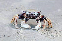 Horn eyed Ghost Crab (Ocypode ceratophthalma) the horned ghost crab or horn-eyed ghost crab, is a species of ghost crab. It lives in the Indo-Pacific region (except the Red Sea); from the coast of East Africa to the Philippines and from Japan to the Great Barrier Reef. They also occur in the Pacific Islands to as far east as Polynesia and Clipperton Island.