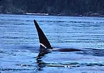 Male orca in Johnstone Strait, BC