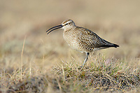 Whimbrel (Numenius phaeopus) calling. Yukon Delta National Wildlife Refuge, Alaska. June.