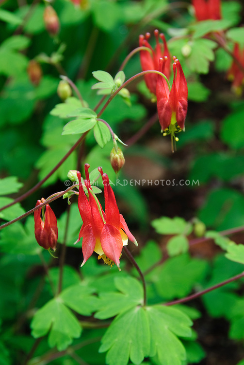 Aquilegia canadensis Wild red columbine in bloom in spring