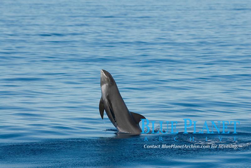 melon-headed whales, Peponocephala electra, Eastern Caribbean Sea