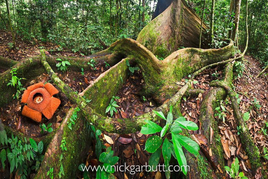 Flower of locally endemic Rafflesia (Rafflesia tengku-adlinii) (flower diameter 22cm) blooming amongst the tangled giant buttress roots of Shorea sp. on forest floor within lowland Dipterocarp rainforest. Maliau Basin. Sabah's 'Lost World', Borneo.