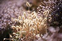 Limonium and Largurus ovatus growing in a coastal area near Port Elliot, South Australia.
