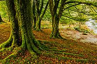 Beech Forest, Scotland