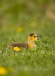 Canada Goose (Branta canadensis) gosling, Ithaca, New York, USA.