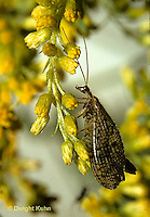 1L41-002z  Brown Lacewing adult on goldenrod - Hemerobius spp.