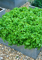 Lettuce 'Emerald Oak'  oakleaf variety growing in raised bed of galvanized steel (pot container vegetable). An Open Source Seed Initiative variety