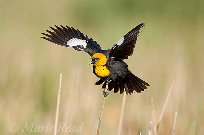 Yellow-headed Blackbird (Xanthocephalus xanthocephalus), male displaying and calling, Mono Lake Basin, California, USA