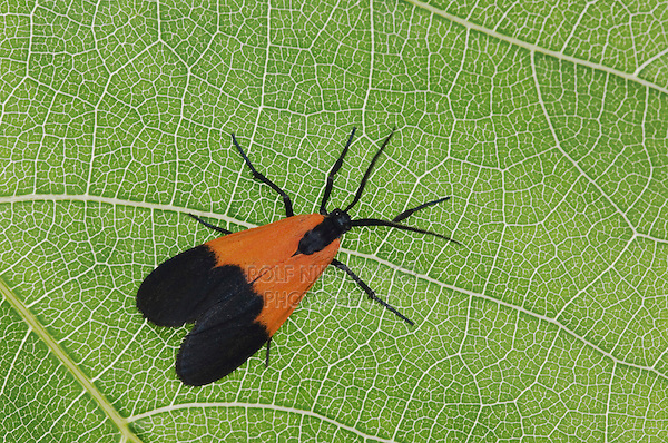 Ctenucha Moth, Ctenuchidae, adult on Grapevine leaf, Uvalde County, Hill Country, Texas, USA, April 2006