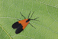 Ctenucha Moth, Ctenuchidae, adult on Grapevine leaf, Uvalde County, Hill Country, Texas, USA, April 2006