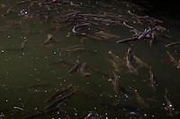 Pink salmon spawn in rivers near Sitka.