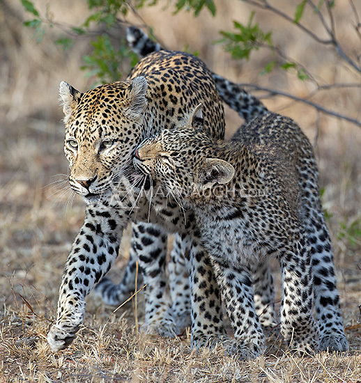 MalaMala may be the best place to see wild leopards on earth.  On this day we spent time with a mother and her two 8-month old cubs.