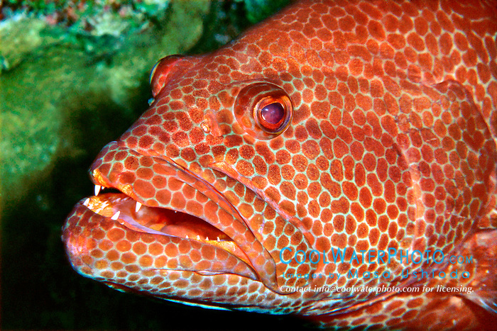 tiger grouper, .Mycteroperca tigris, .Sergeant Major Reef, .Cayman Brac (Caribbean).