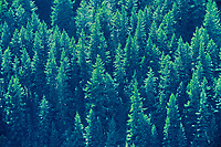 Coniferous forest, Boston Bar Summit, British Columbia, Canada