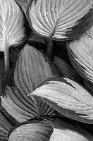 Hosta leaf patterns are seen in a suburban garden bed, Will County, Illinois