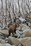 Un jeune grizzly escalade un mur de neige piur rejoindre la crête de la baie Astronomicheskaya..a young Brown Bear .wandering.on the beach and then climbing a steep snow patch..Astronomicheskaya Bay