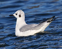 Adult Bonaparte's gull in nonbreeding plumage