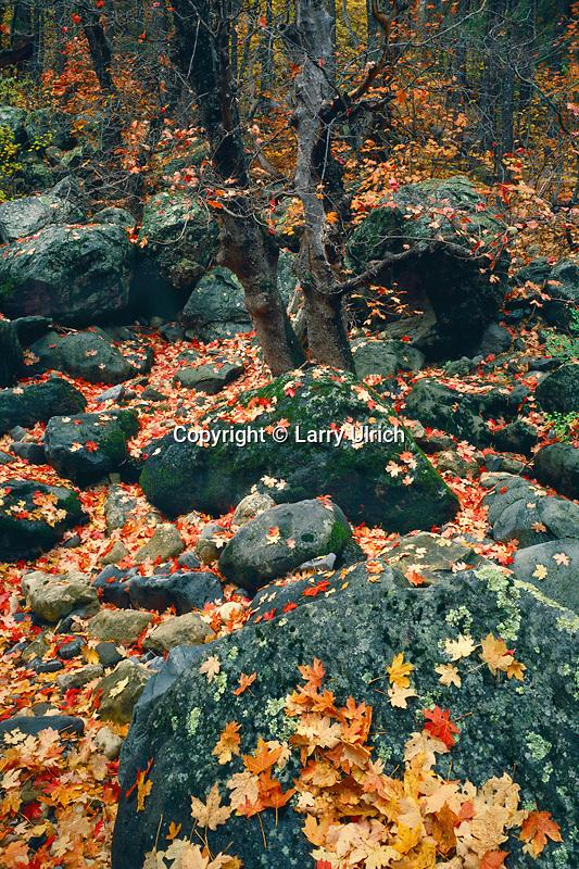 Bigtooth maples<br /> Oak Creek Canyon<br /> Coconino National Forest<br /> Colorado Plateau,  Arizona