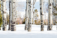 Aspen trees in Grand Teton National Park in Winter