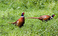 Male pheasants, The Cotswolds, Oxfordshire, United Kingdom