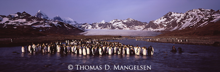 A king penguin colony at St. Andrews Bay in South Georgia.