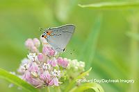 03191-00617 Gray Hairstreak (Strymon melinus) on Swamp Milkweed (Asclepias incarnata) Marion Co. IL