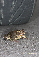 0304-0913  American Toad Crossing Paved Road Under Car and Tires During Rain Event in Spring, © David Kuhn/Dwight Kuhn, Anaxyrus americanus, formerly Bufo americanus Photography