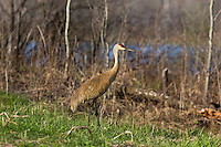Sandhill crane in spring