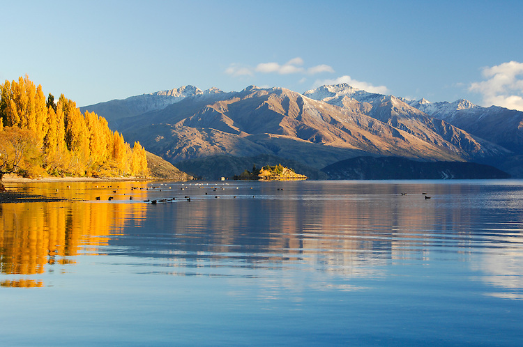 Autumn Poplars reflected in rippled water, Lake Wanaka, South Island,  New Zealand - stock photo, canvas, fine art print
