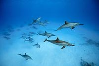 spinner dolphin, Stenella longirostris, Sha'ab Samadai, Egypt, Red Sea, Northern Africa