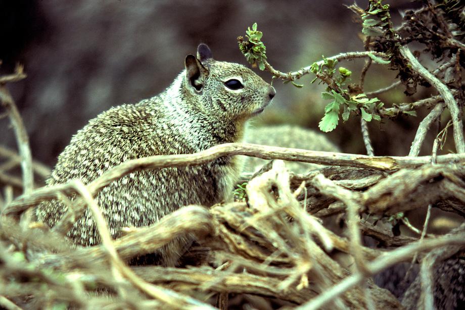 Californian grondeekhoorn (Citellus beecheyi)