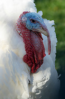 """""""Butter"""", the 2019 National Thanksgiving Turkey appears in the Rose Garden of the White House in Washington, DC where he was pardoned by United States President Donald J. Trump on Tuesday, November 26, 2019.<br /> CAP/MPI/RS<br /> ©RS/MPI/Capital Pictures"""