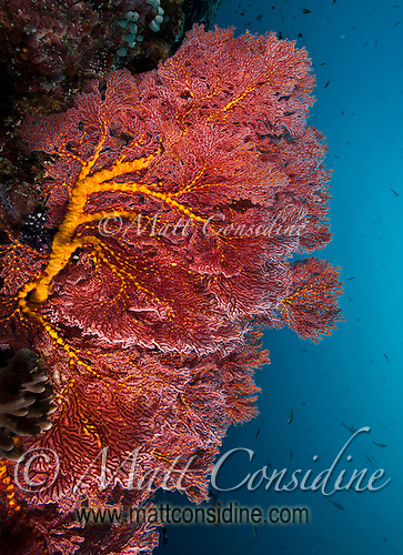 Large fan coral on a wall dive in Palau, with baraccuda and other fish in the background, Palau Micronesia. (Photo by Matt Considine - Images of Asia Collection) (Matt Considine)