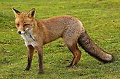 Vos | Fox | Vulpes vulpes