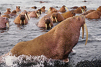 Walrus bulls (Odobenus rosmarus) hauling out along the Alaska Peninsula's Bering Sea coast.  Summer.
