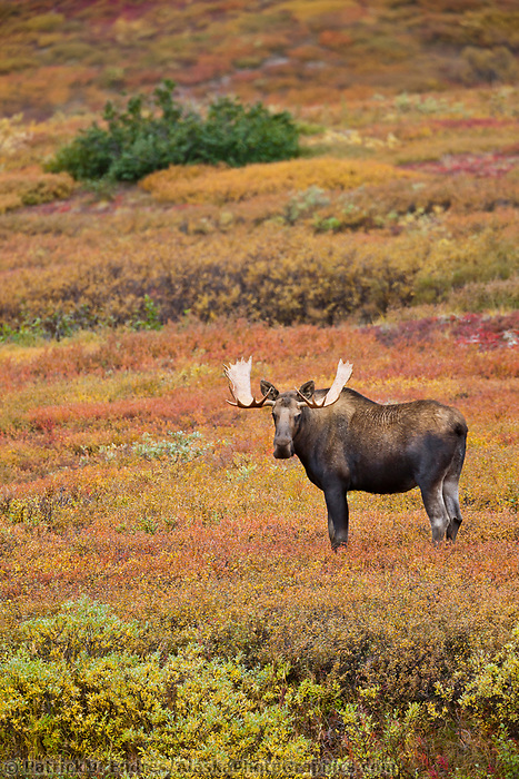 Bull moose in colorful autumn tundra, Denali National Park, Interior, Alaska.