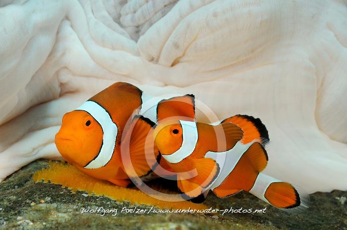 Amphiprion ocellaris mit ausgefahrenem Ovipositor, Westlicher Clownfisch bei der Paarung, Weibchen mit aufgefahrener Legeroehre, Legeroehre, Legeapparat, Ovipositor, Eiabalage, two mating or spawning western clown-anemonefish laying eggs, Tulamben, Bali, Indonesien, Indopazifik, Indonesia, Asien, Indo-Pacific Ocean, Asia